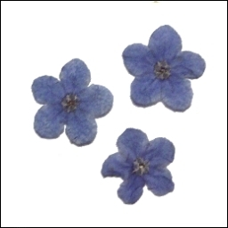 Forget Me Not Heads