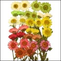 Variety Packs Assorted Chrysanthemum