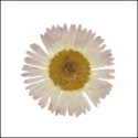 English Daisies - White