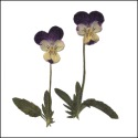 Violas with Stem Purple & Yellow
