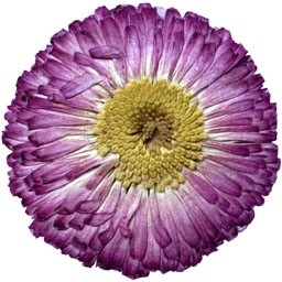 English Daisies - Purple