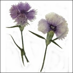 Mini Carnation Light Purple