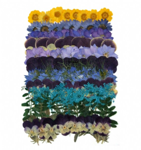 Joanna Sheen 80 Piece Variety Packs Dried Pressed Flowers - Bright Blues